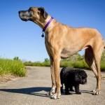 Big brown dog and little black dog